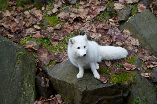 Photo of Arctic fox taken at the Woodland Park Zoo