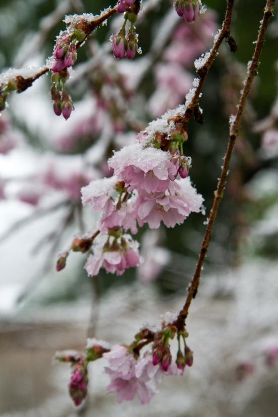 Snow on cherry blossom tree